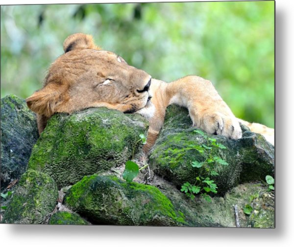Contented Sleeping Lion Metal Print