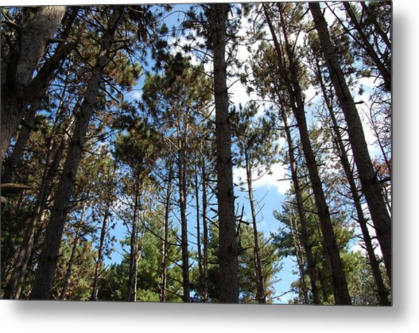 Cool Pines Metal Print by Daniel Ness