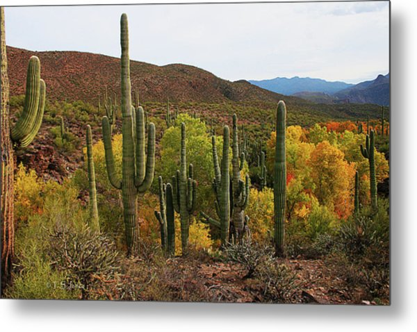 Coon Creek With Saguaros And Cottonwood, Ash, Sycamore Trees With Fall Colors Metal Print