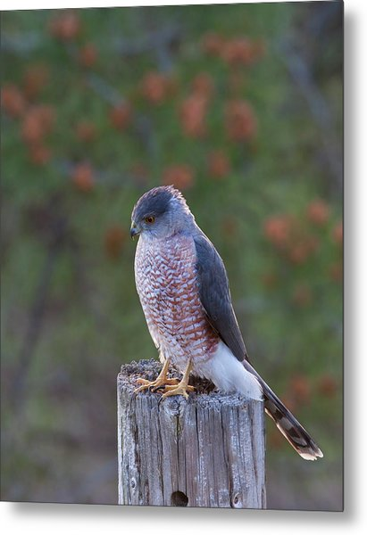 Coopers Hawk Perched Metal Print