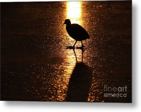 Coot Walks On Golden Ice  Metal Print