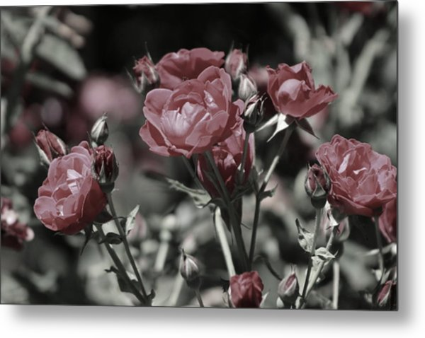 Copper Rouge Rose In Almost Black And White Metal Print