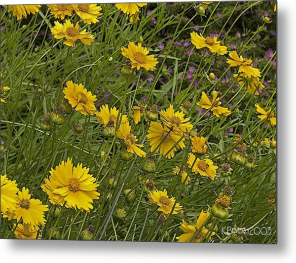 Coreopsis And Mexican Heather Metal Print