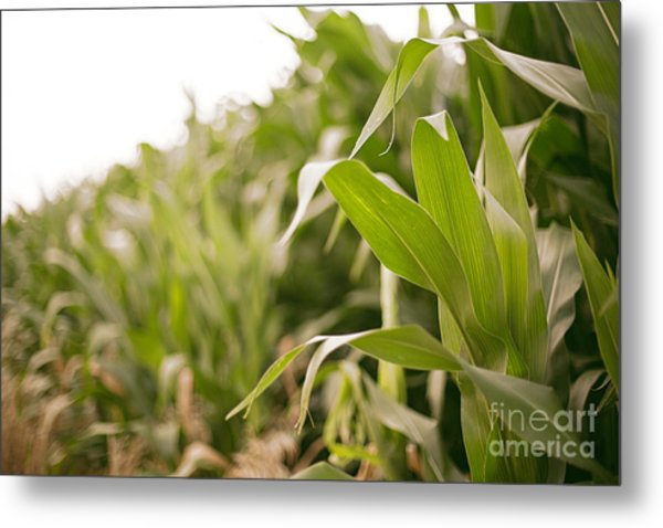 Metal Print featuring the photograph Corn by Sandy Adams