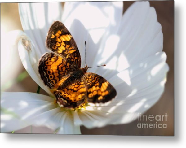 Pearl Crescent Butterfly On White Cosmo Flower Metal Print