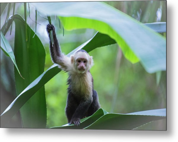 Costa Rica Monkeys 1 Metal Print