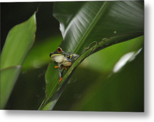 Costa Rica Red Eye Frog I Metal Print