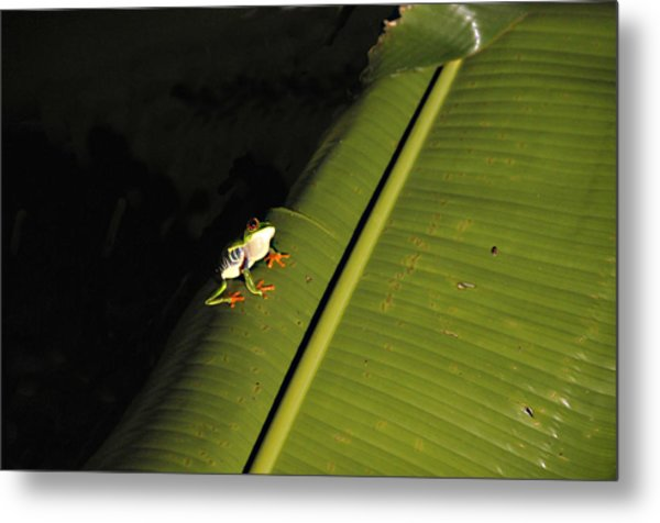 Costa Rica Red Eye Frog II Metal Print