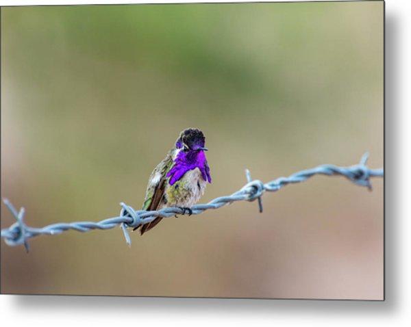Costa's Hummingbird Metal Print