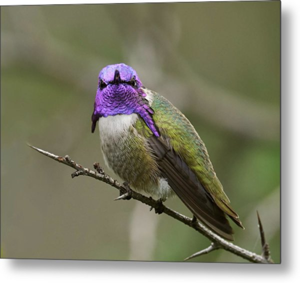 Costa's Hummingbird, Solano County California Metal Print