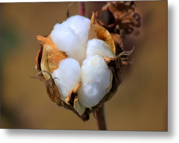 Cotton Boll Metal Print