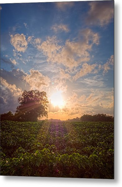 Cotton Field Sunset Metal Print