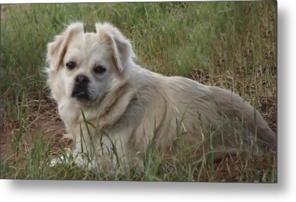 Cotton In The Grass Metal Print