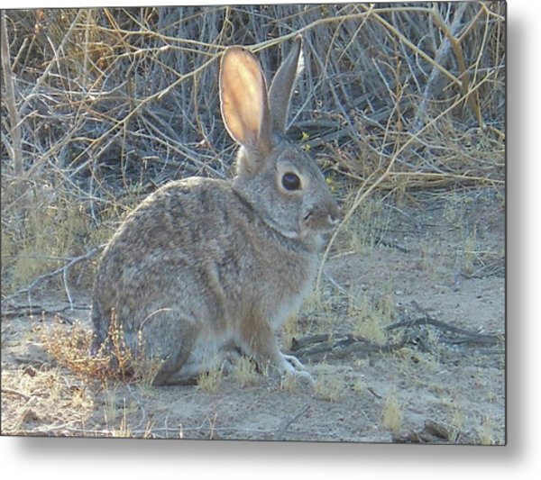 Cottontail Rabbit Morning Light Metal Print