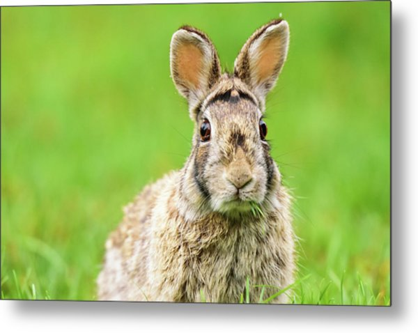 Cottontail Rabbit Metal Print