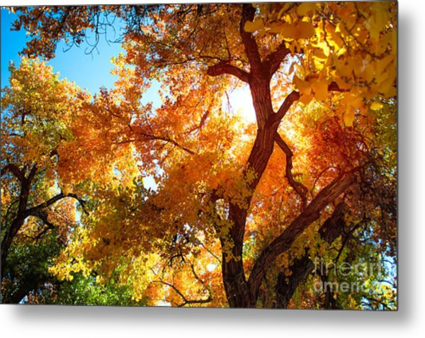 Cottonwood Glow Metal Print