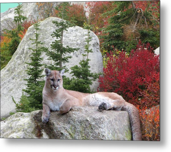 Cougar On Rock Metal Print by Robert Bissett