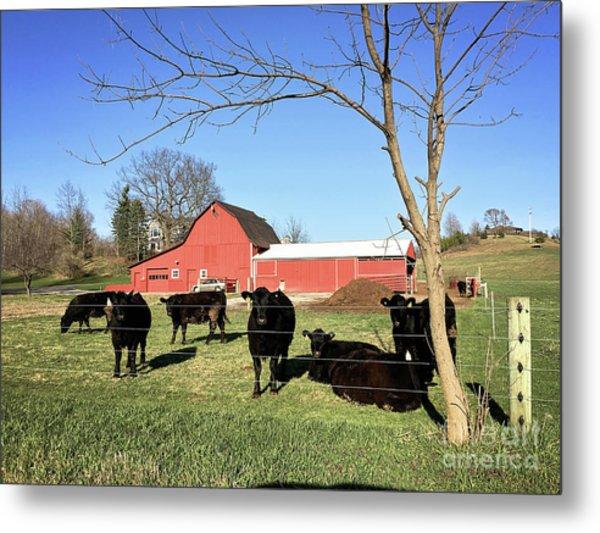 Country Cows Metal Print