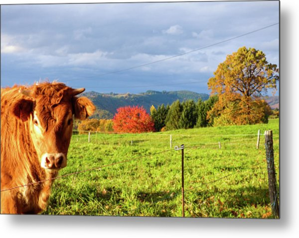 Cow And Autumn Colors  Metal Print