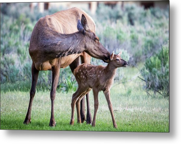 Cow And Calf Elk Metal Print