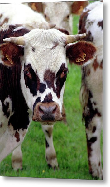 Cow Closeup Metal Print