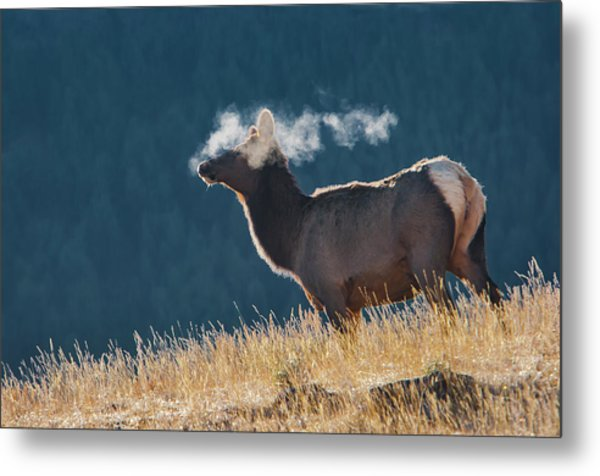 Cow Elk With Steamy Breath Metal Print