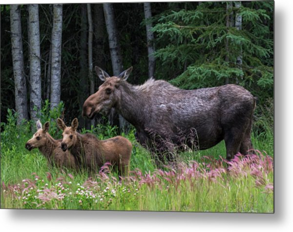 Cow Moose And Twin Calves Metal Print