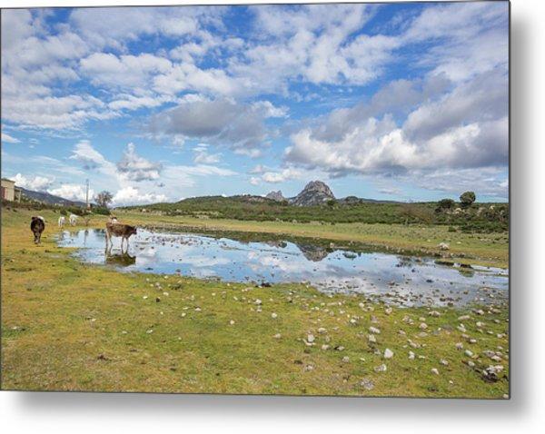 Reflected Cows  Metal Print