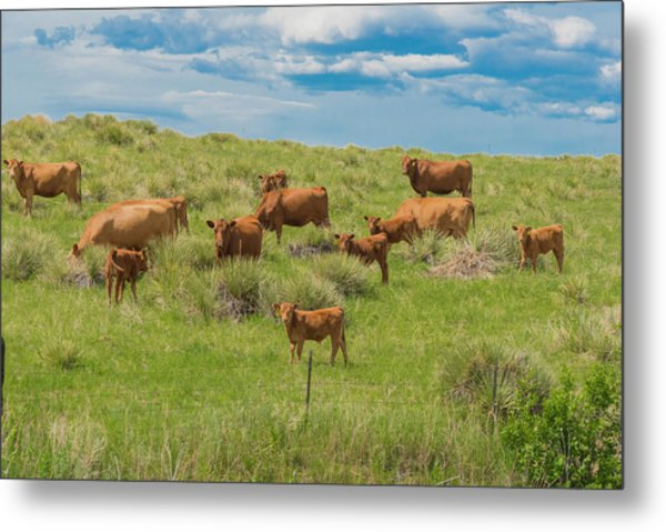 Cows In Field 1 Metal Print