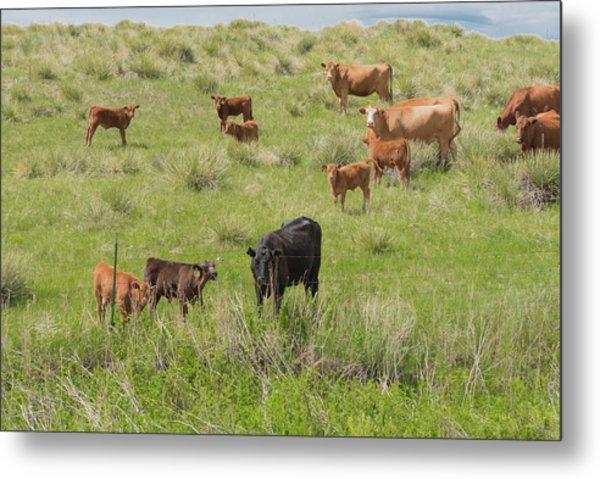 Cows In Field 2 Metal Print