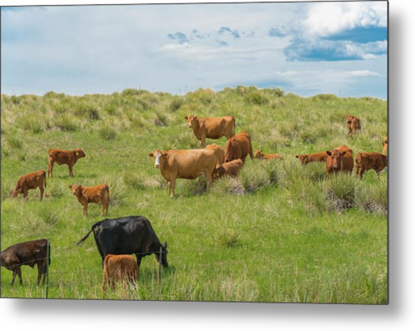 Cows In Field 3 Metal Print