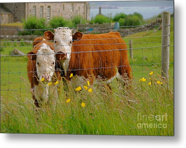 Cows In Iona Metal Print by Louise Fahy
