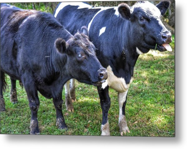 Cows Sticking Out Tongues Metal Print