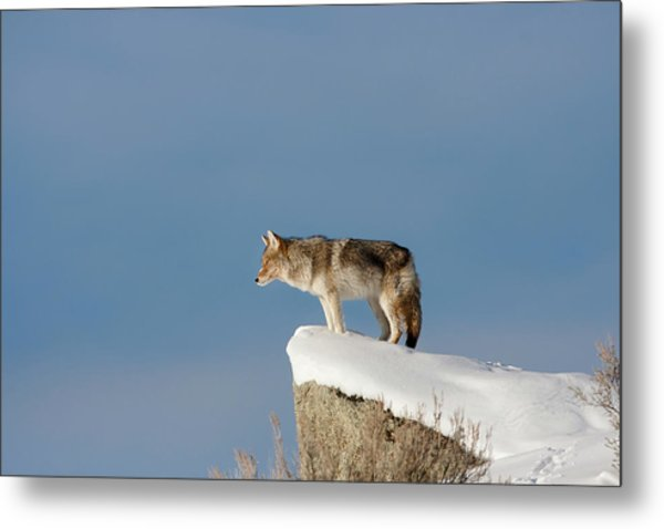 Coyote At Overlook Metal Print