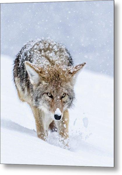 Coyote Coming Through Metal Print