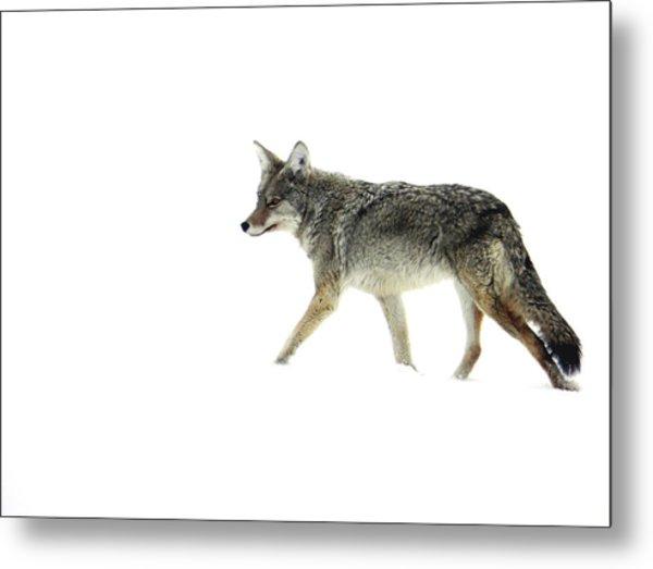 Coyote Crossing Metal Print