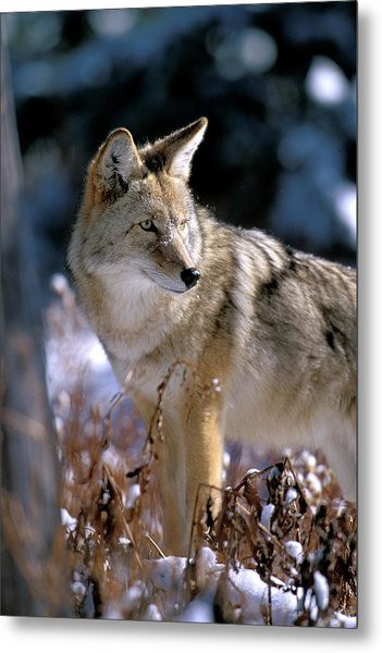 Coyote In Winter Light Metal Print