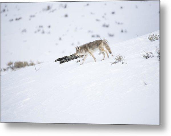Coyote In Yellowstone Metal Print
