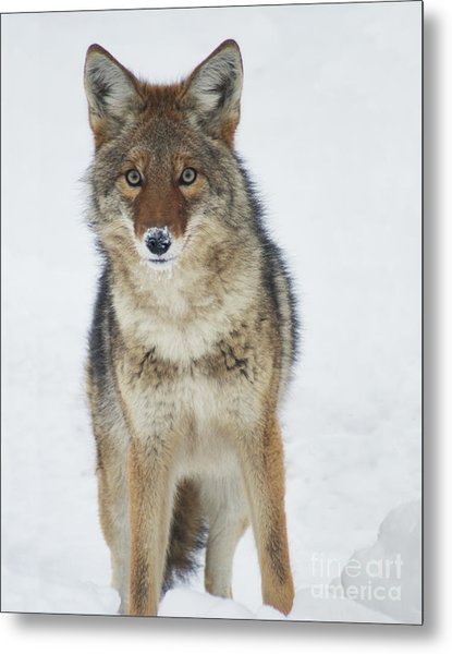 Coyote Looking At Me Metal Print
