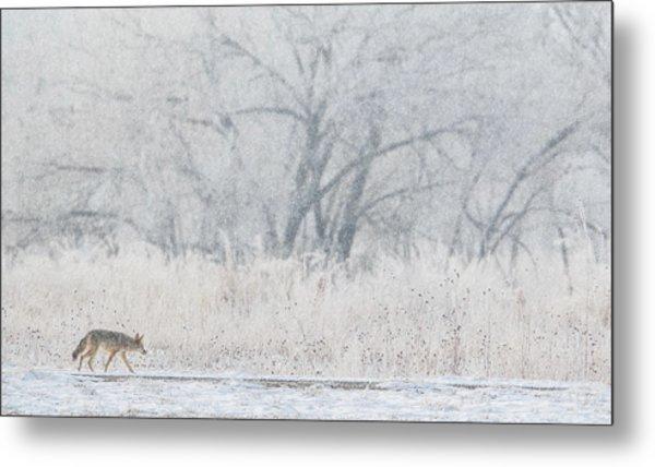 Coyote On The Hunt Metal Print