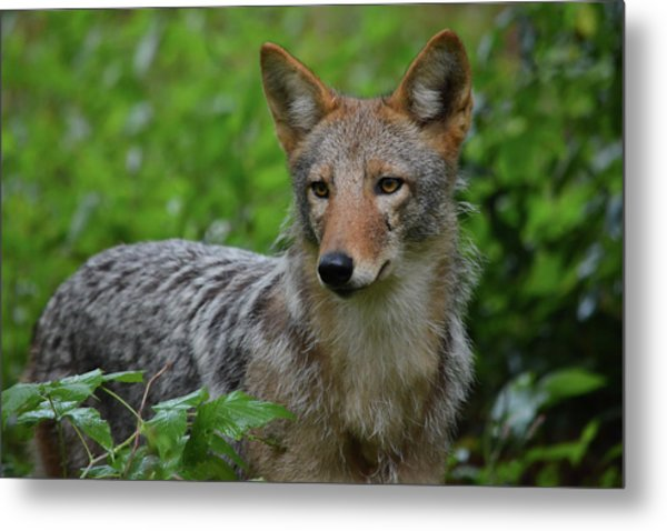 Coyote On The Prowl  Metal Print