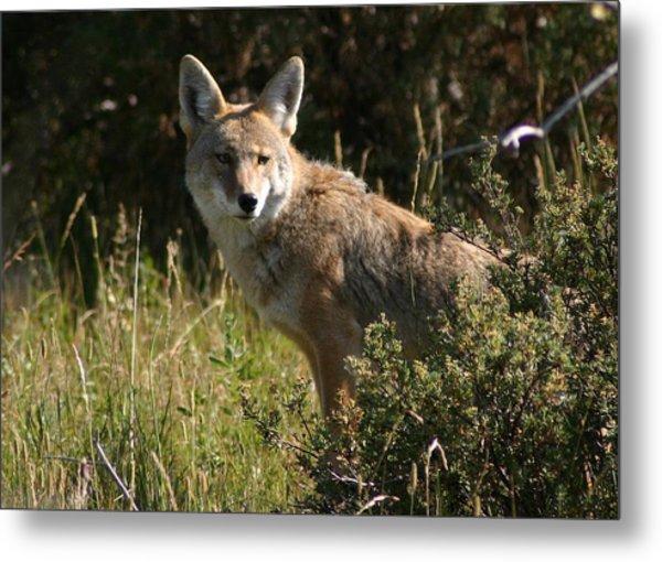 Coyote Resting Metal Print