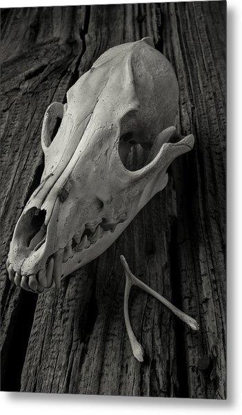 Coyote Skull And Wishbone Metal Print