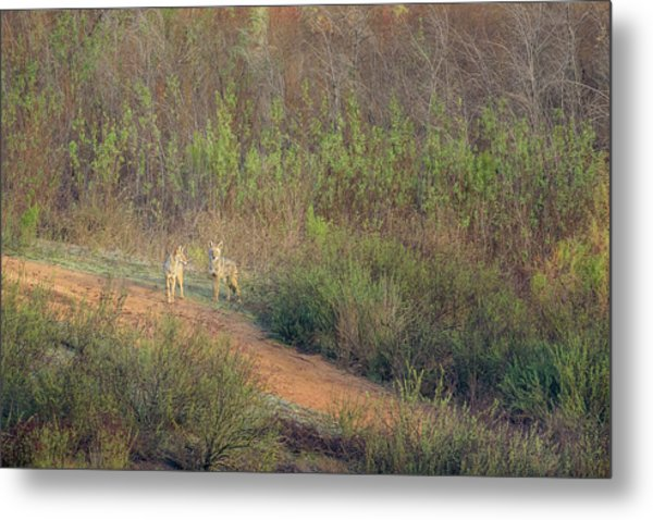 Coyotes In Morning Light Metal Print