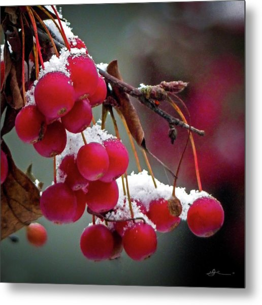 Crab Apples Snow Metal Print