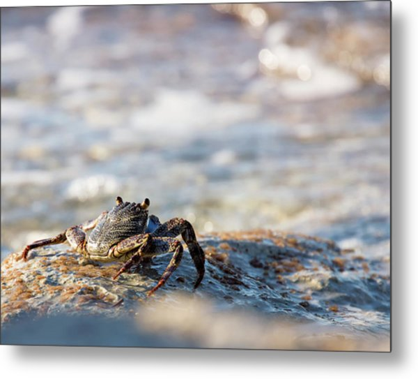 Metal Print featuring the photograph Crab Looking For Food by David Buhler