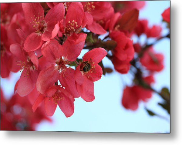 Metal Print featuring the photograph Crabapple Bees by Rick Morgan
