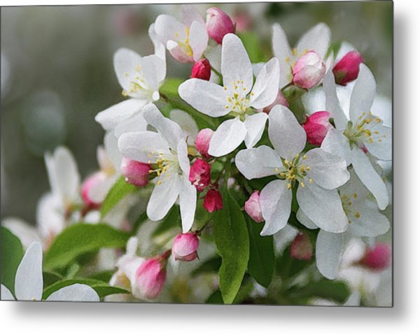 Crabapple Blossoms 12 - Metal Print
