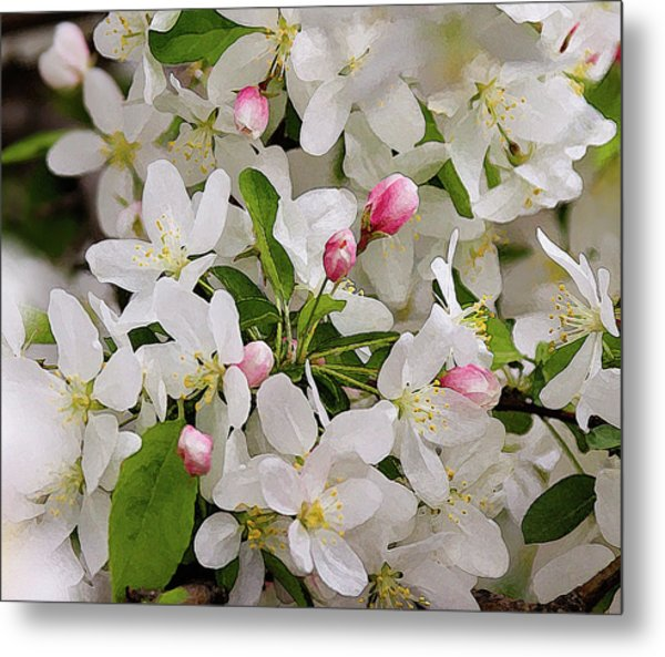 Crabapple Blossoms 5 Metal Print