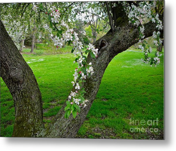 Crabapple Blossoms On A Rainy Spring Day Metal Print